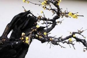 十大盆景名貴樹種排名,你認識幾個?