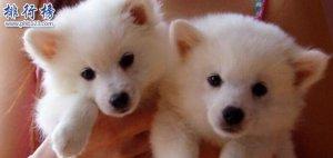 什么狗最干净最好养?楼房最适合养的狗排行榜