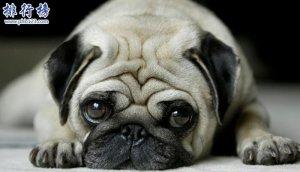 十大便宜好养的狗狗排行榜,第一便宜又可爱不得不服