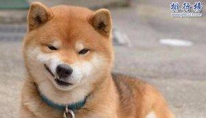 十大适合家养的中型狗,边牧VS哈士奇哪个才是你的菜