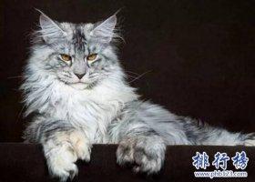 最适合家养的猫排名,英国短毛猫第一