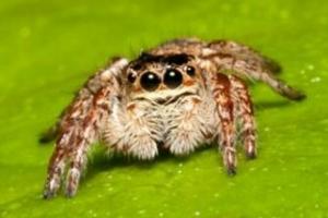 十大常见的室内蜘蛛,幽灵蛛微毒,遇到要避开!