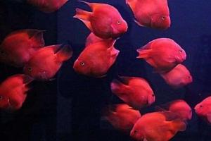 世界上最漂亮的十種魚,第一美若仙子!