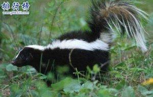 世界十大最臭的动物,臭鼬第1气味犹如生化武器