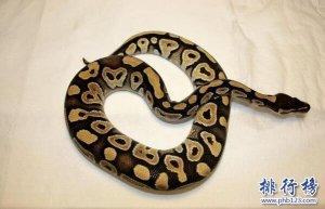 世界十大常见无毒蛇,第2第3常被用来当宠物