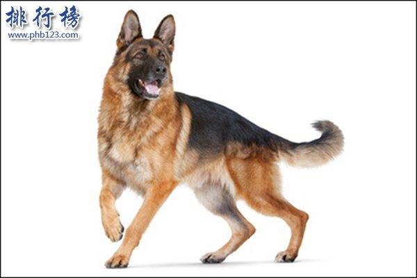 什么狗最适合做警犬?十大适合做警犬的犬种排行