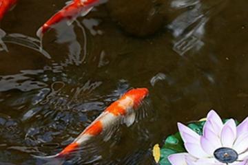 十大适合家养的冷水观赏鱼,最好养的冷水鱼排行榜