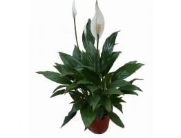除甲醛十大植物排名,甲醛及有害气体的清道夫,你选的是这些吗?