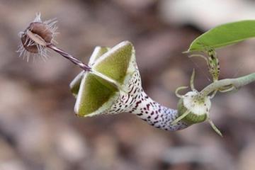 世界十大稀有植物:第6臭到窒息第9吃老鼠