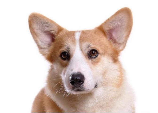 十大狗狗颜值大排名,适合家养的小型狗聪明又好养