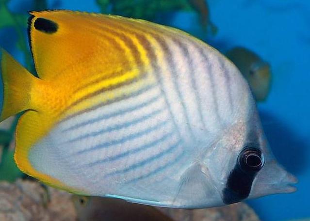 十种最漂亮的热带鱼,世界上最美的热带鱼(附图片)