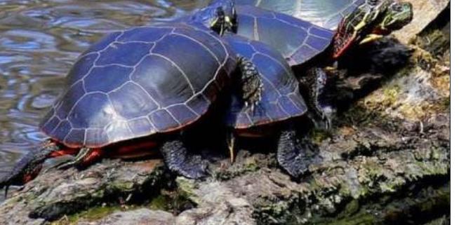 新手养什么龟比较好?十大最值得养的乌龟