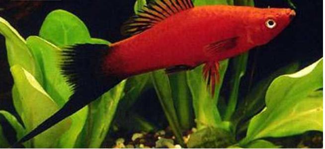 十大养不死的热带鱼:适合新手养的热带鱼观赏鱼