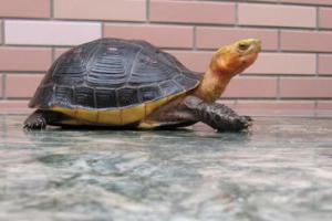 什么乌龟最名贵?盘点中国十大名贵乌龟