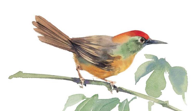 十大最叫声最好听的鸟:画眉鸟上榜 第2模仿周围声音超有趣