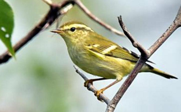 观赏鸟十大鸣鸟排名,最受欢迎的鸟长得漂亮声音好听