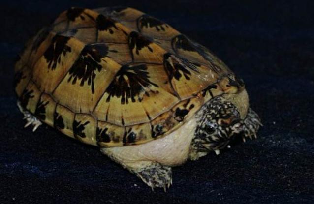 什么乌龟好养又漂亮?全球十大最受欢迎宠物龟