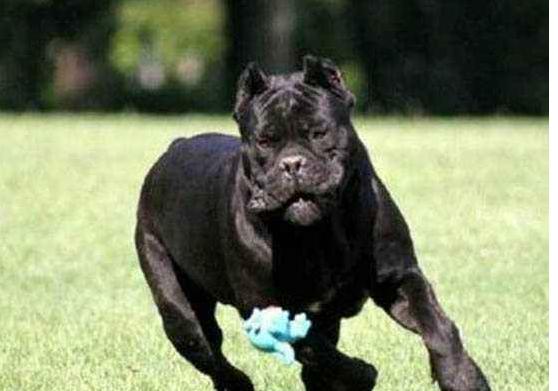 世界十大斗犬排名第一最强悍凶猛看着都怕