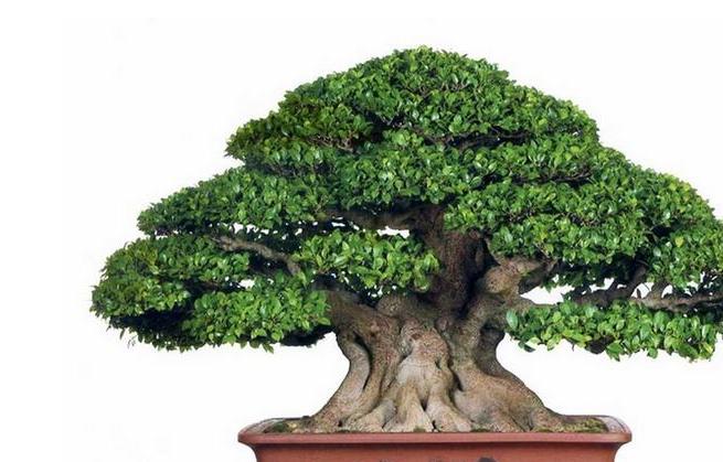 盆景树木种类前十名柏类排第一你养的哪种
