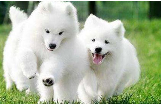 世界三大傻狗 最受欢迎的宠物狗傻得可爱