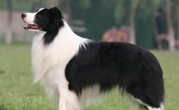 什么狗狗最聰明?狗的智商排名大全(附圖片)