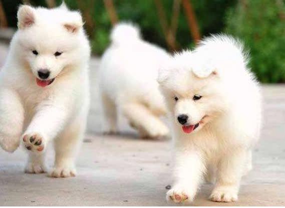 什么品种的狗不忠诚?世界上最不忠诚的狗排名