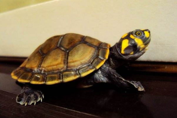 最有靈性的龜排名 巴西龜位列第一名
