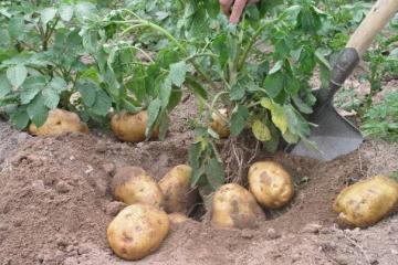 内蒙草原三宝:莜面/土豆/羊皮袄