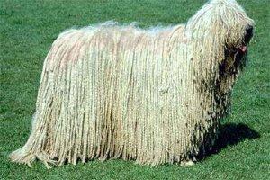 中國家禁養的26種狗,中華田園犬上榜,你都知道嗎