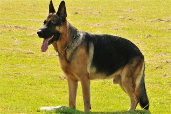 中国家禁养的26种狗,中华田园犬上榜,你都知道吗