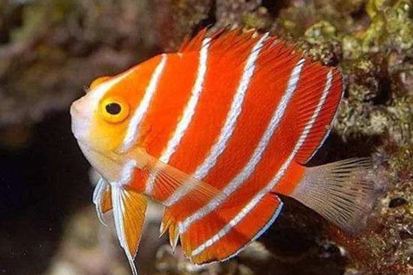 全球十大最贵的观赏鱼