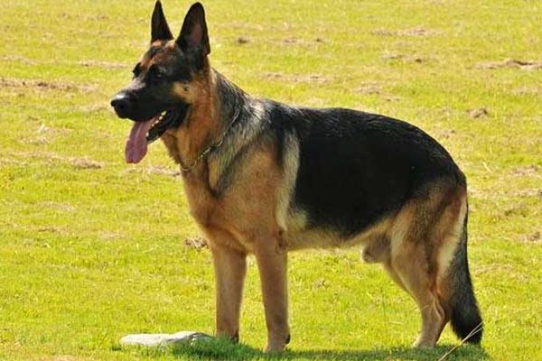 世界上最贵名狗
