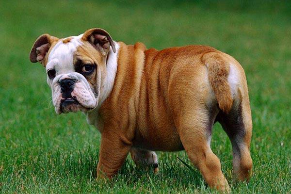 英国十大名犬