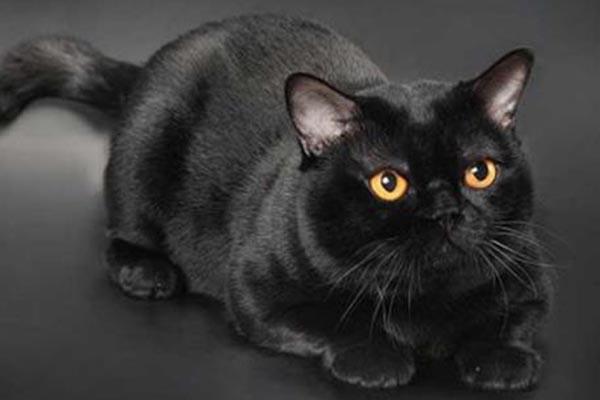 世界十大最美猫咪