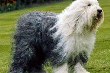 英國十大名犬:你喜歡忠誠又善良的英國斗牛犬嗎?