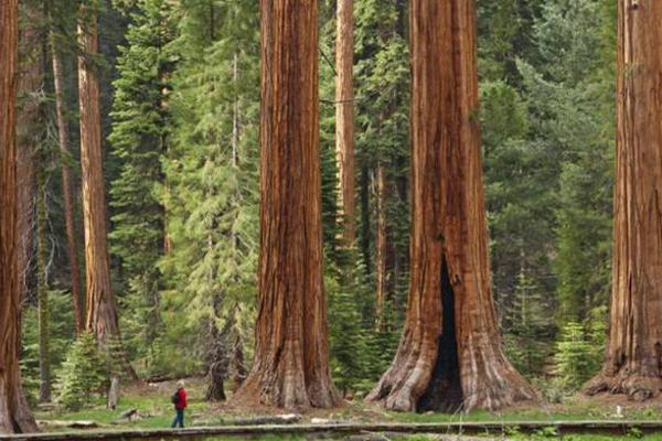 世界十大园林树木