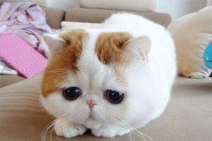 世界上十大最溫順貓咪:波斯貓排第三,第一名是圓滾滾的它