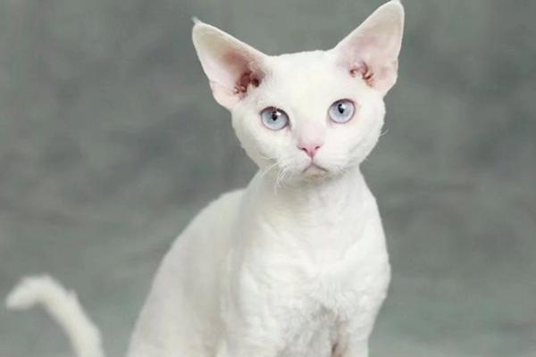 世界上十大最温顺猫咪