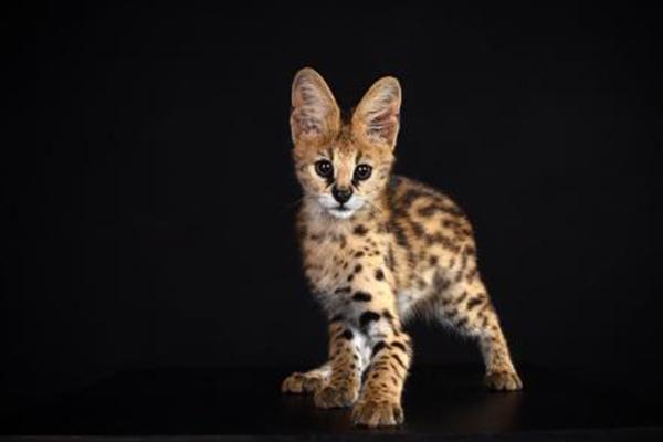 世界十大禁养猫科动物