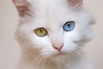 世界上十大最温顺猫咪:波斯猫排第三,第一名是圆滚滚的它