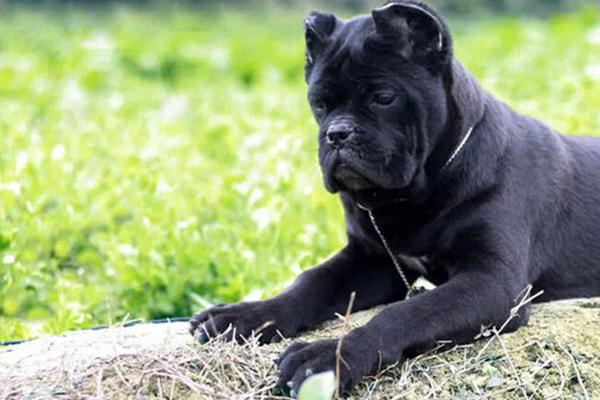世界十大凶猛的狗