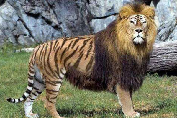 世界十大罕见杂交动物