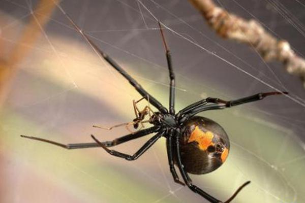 世界十大有毒蜘蛛