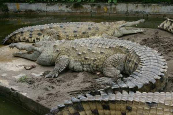 世界上十种最大鳄鱼