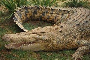 世界上十种最大鳄鱼:第一名体重超过4900斤也是最凶猛的鳄鱼