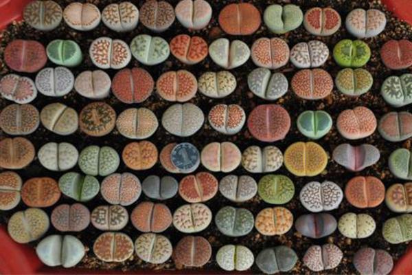 世界上十大名贵多肉植物