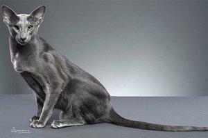 貓的友善程度排名top10 埃及貓上榜,第十是招財貓的原型
