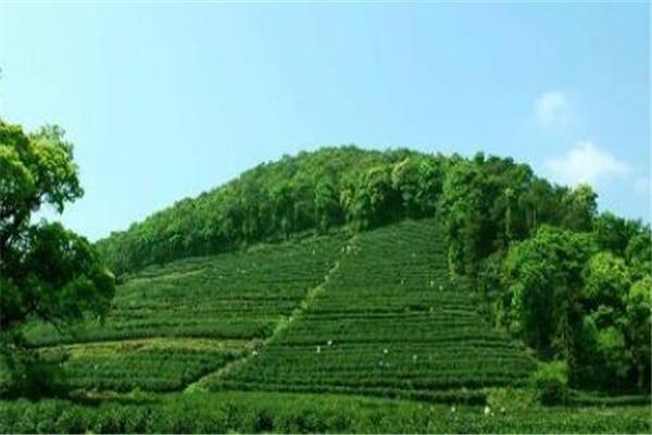 英德十大红茶基地,创美茶园上榜,第二主产英红九号