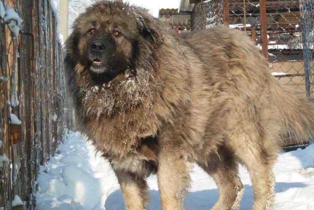 世界十大最凶猛狗 比特犬最凶猛,藏獒仅列第五