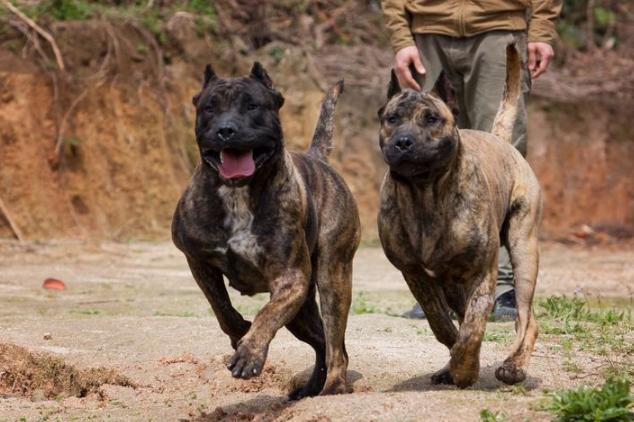 世界凶猛的十大护卫犬 藏獒上榜,高加索位列第一